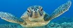 Zeeschildpad - Apo Island, Visayas, Filipijnen
